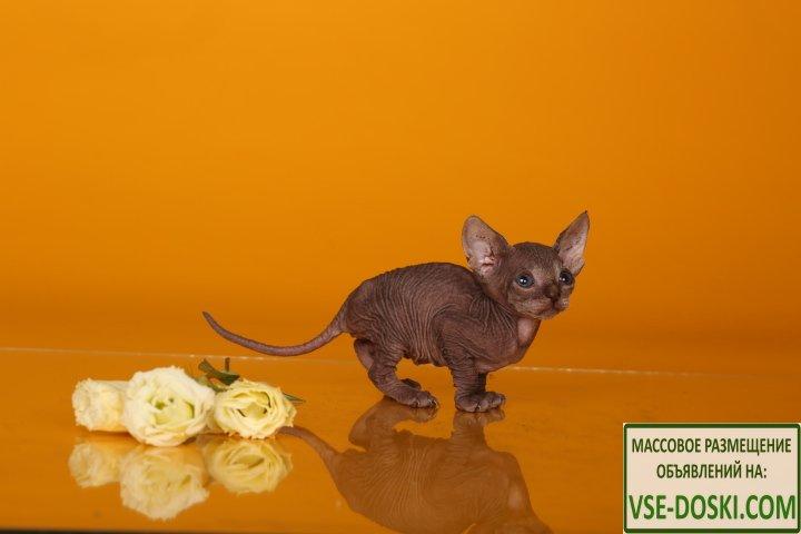 Эльф, бамбино, двэльф или сфинкс – одна из редких и необыкновенных кошек. - 1/3