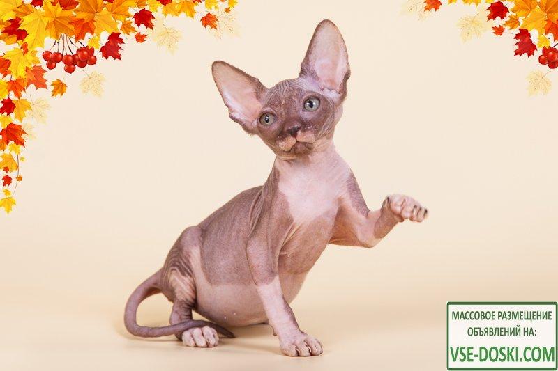 Эльф, бамбино, двэльф или сфинкс – одна из редких и необыкновенных кошек. - 2/3