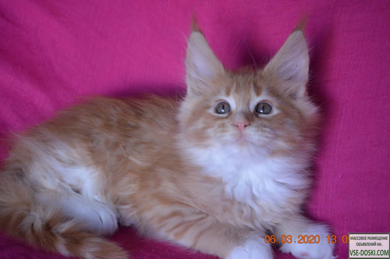 Котята мейн-кун из питомника - для души и разведения