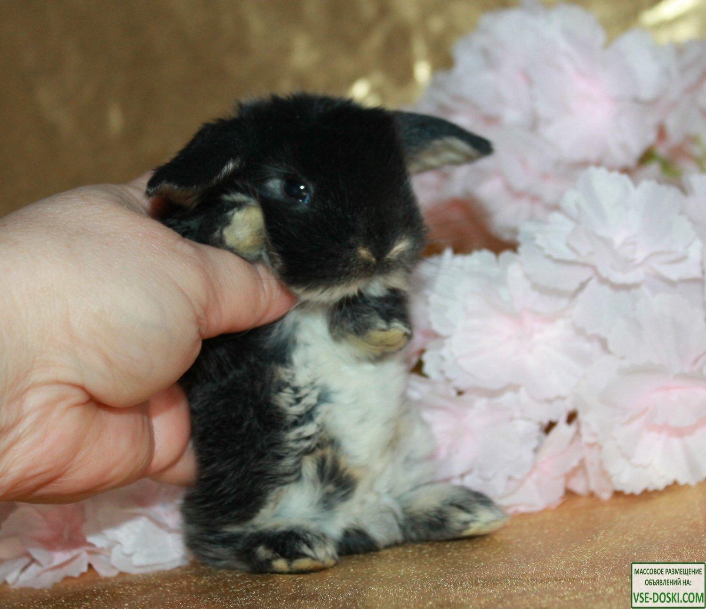 Карликовые кролики для разведения из Питомника к Новому году и Рождеству!