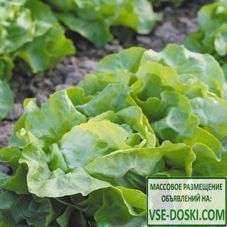 Салат маслянистый Изумительный, семена