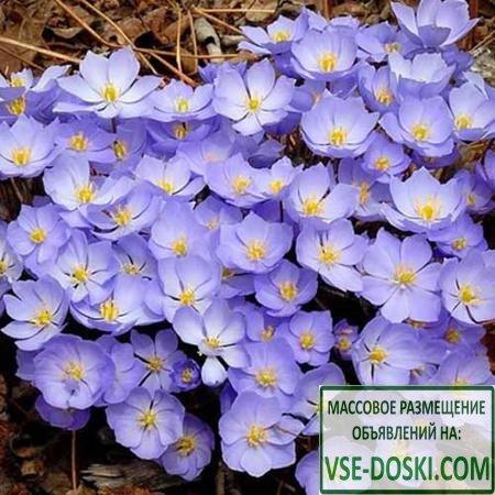 Джефферсония сомнительная Веснянка, семена
