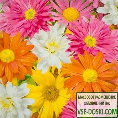 Хризантема индийская Осенний букет, смесь окрасок