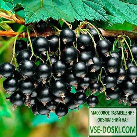 Смородина черная Вернисаж